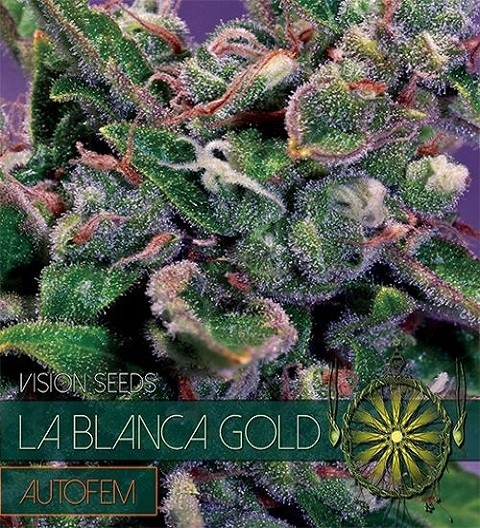 La Blanca Gold Auto by Vision Seeds