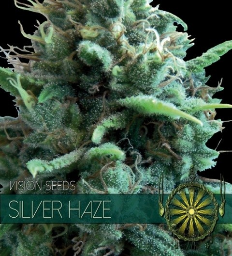 Silver Haze Feminized by Vision Seeds