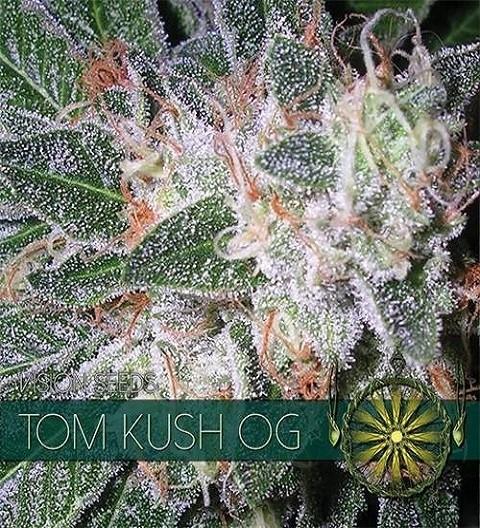 Tom Kush OG Feminized by Vision Seeds