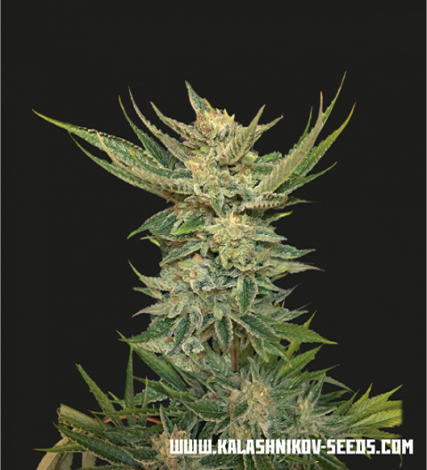 Vodka Lemon by Kalashnikov Seeds