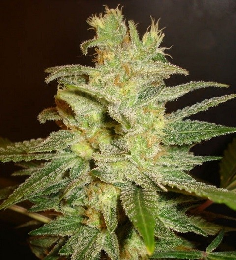 Northern Light x Big Bud by W.O.S. Seeds