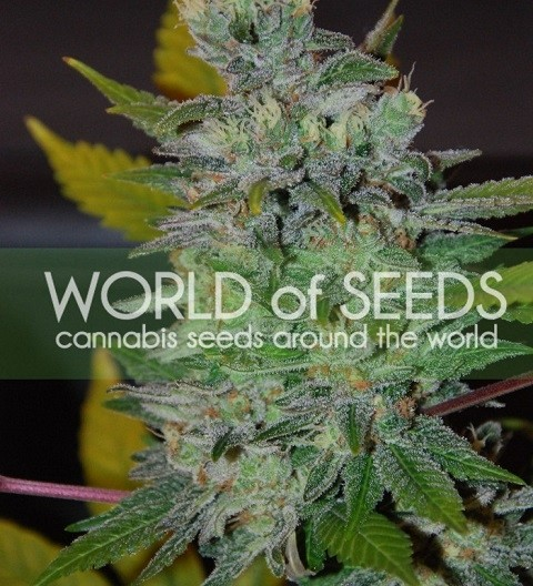 Space by W.O.S. Seeds