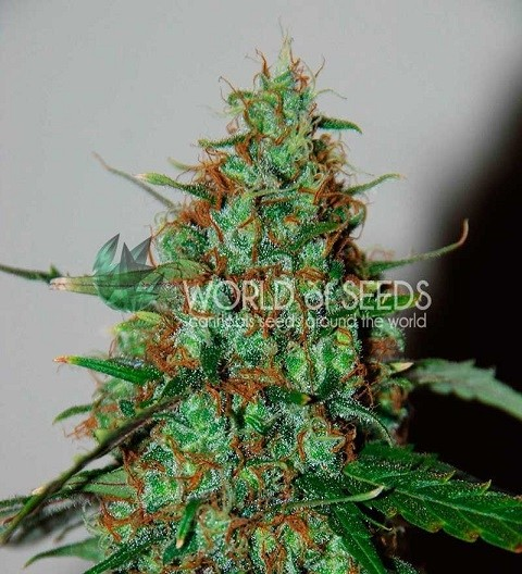 Wild Thailand Ryder by W.O.S. Seeds
