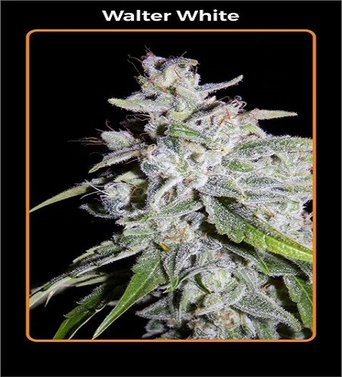 Walter White by Mephisto Genetics