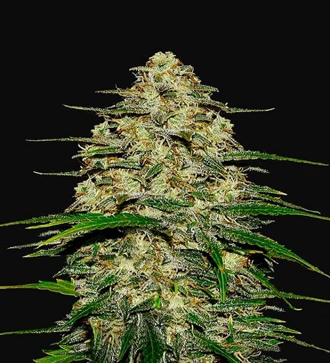 Wedding Cheesecake by Fast Buds Seeds