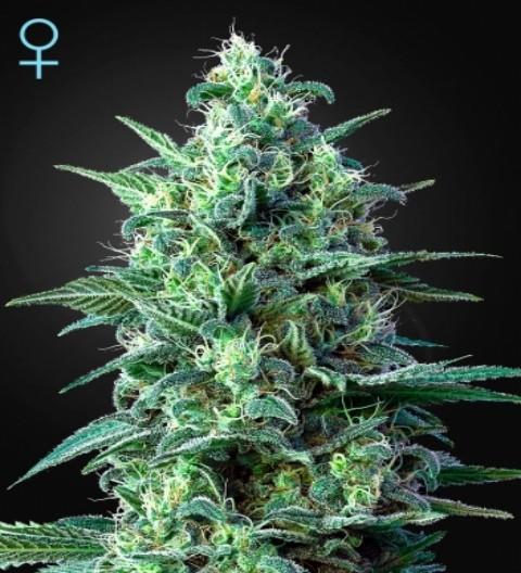 White Widow Auto Feminized CBD Marijuana Seeds