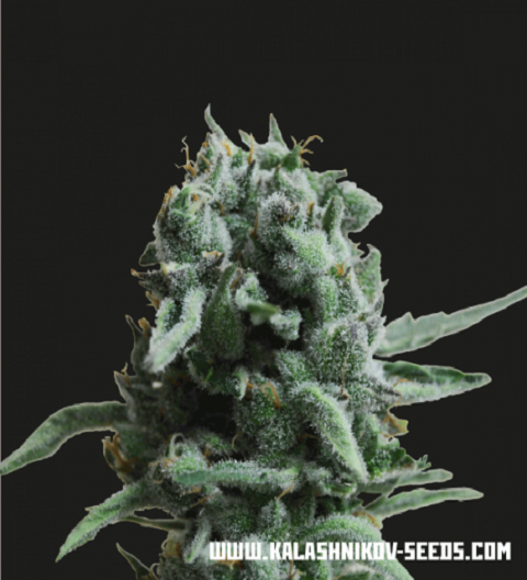 White Widow 47 by Kalashnikov Seeds