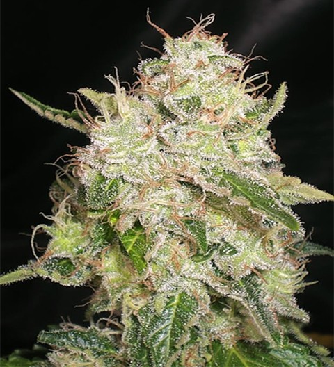 White Chronic by Cream of the Crop Seeds