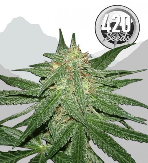 White Dwarf Marijuana