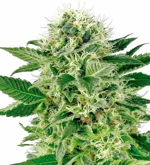 Northern Lights Feminized by White Label Seeds