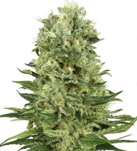 Skunk #1 Auto by White Label Seeds