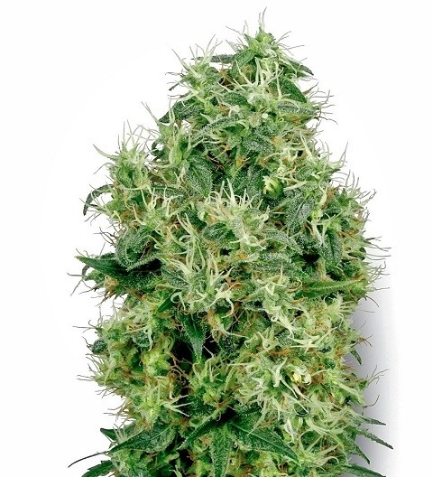 White Gold Feminized by White Label Seeds