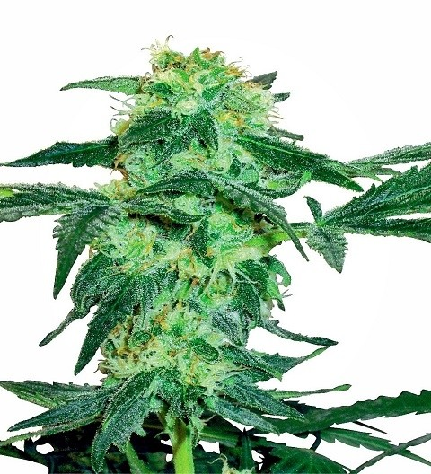 White Ice Feminized by White Label Seeds