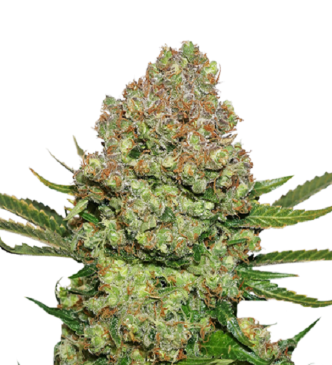 White Widow by Seed Stockers