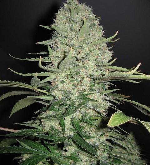 White Widow x Big Bud by Female Seeds