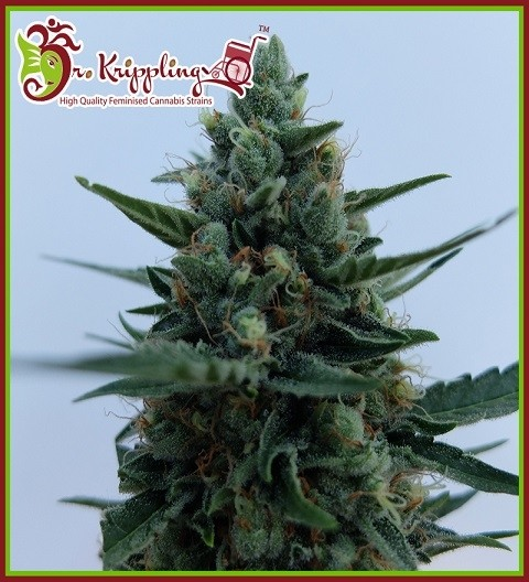 White Rush Auto by Dr Krippling Seeds