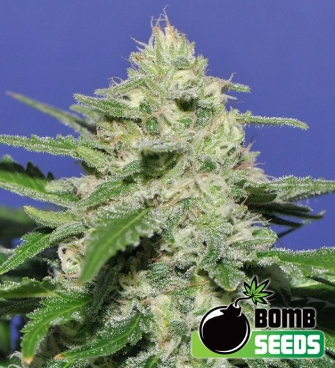 Widow Bomb Feminized – Bomb Seeds