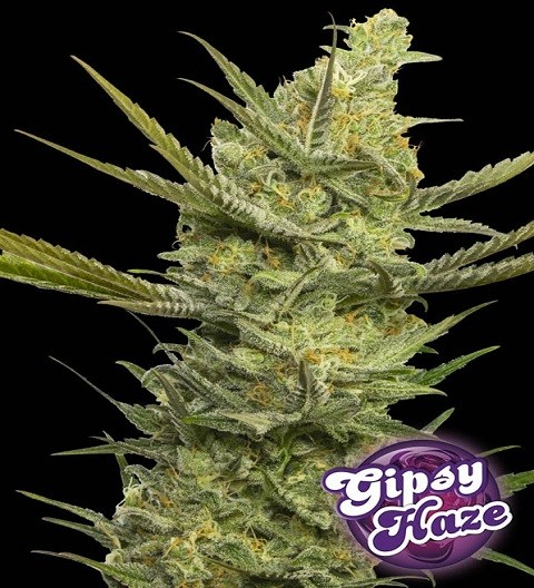 Gipsy Haze by Eva Seeds
