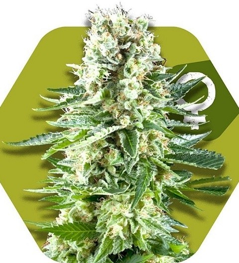 White Widow XL by Zambeza Seeds