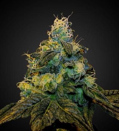 Auto Ice Feminized Marijuana