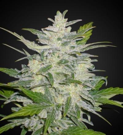 Lowryder 2 Marijuana Seeds