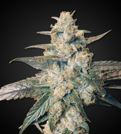 Auto Blueberry Marijuana