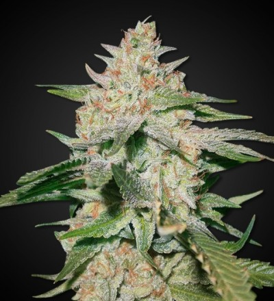Auto White Russian Cannabis Seeds