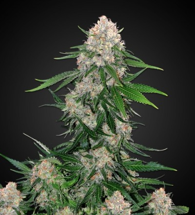 Critical Marijuana