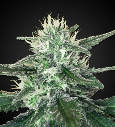 White Widow Max Feminized