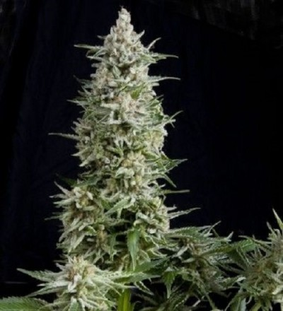 Auto Amnesia Gold by Pyramid Seeds
