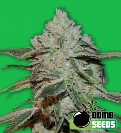 Atomic Feminized – Bomb Seeds
