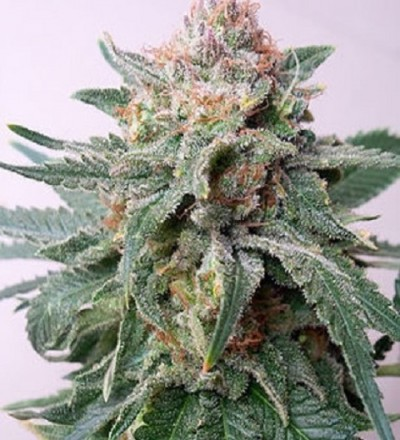 Auto Purple Skunk Mass - Critical Mass Collective Seeds