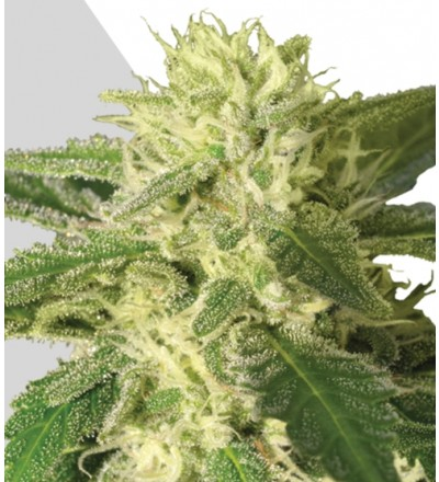 Auto #1 Marijuana Seeds