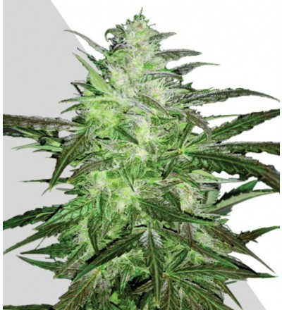 Auto Chemdog Marijuana Seeds