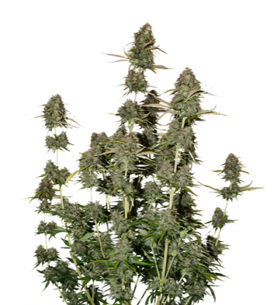 BCN Power Plant Auto by Seed Stockers