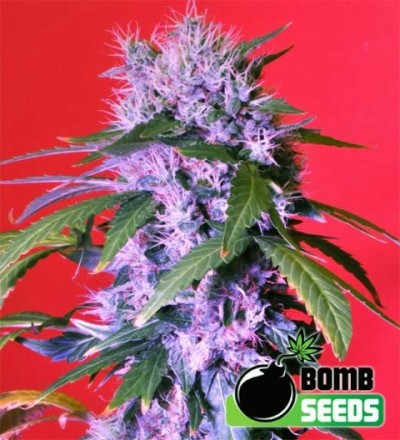 Berry Bomb Regular Marijuana Seeds