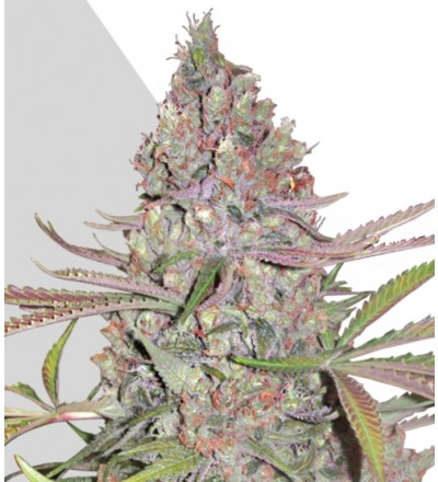 Berry Ryder Marijuana Seeds