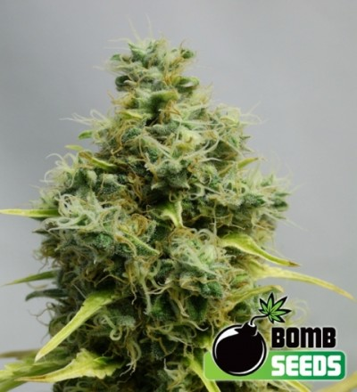 Big Bomb Feminized Marijuana Seeds