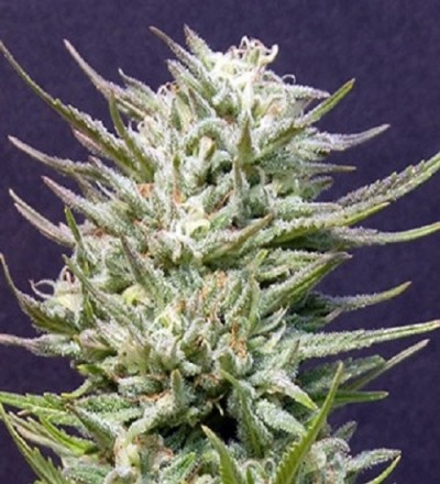 Big Freeze by Bighead Seeds