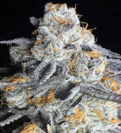Crystal Gelato Feminized by Bighead Seeds