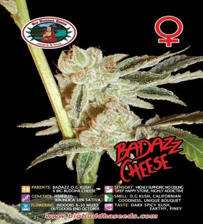 Badazz Cheese Feminized by Big Buddha Seeds