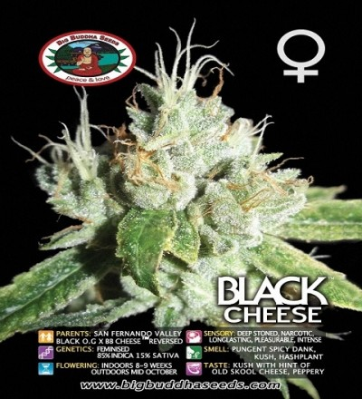 Black Cheese Feminized by Big Buddha Seed