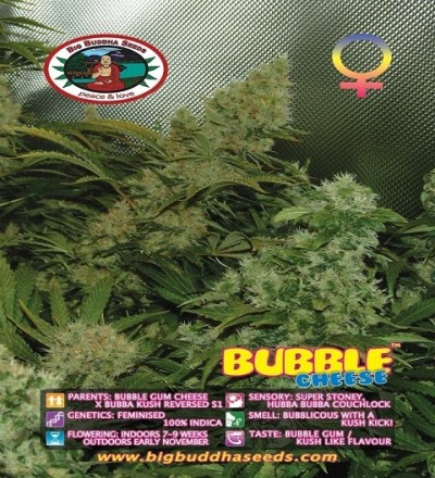 Bubble Cheese Feminized by Big Buddha Seeds