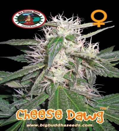Cheese Dawg by Big Buddha Seeds