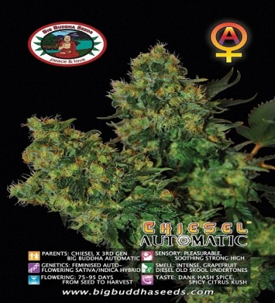Chiesel Automatic by Big Buddha Seeds
