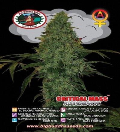 Critical Mass Automatic by Big Buddha Seeds