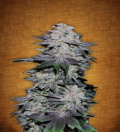 Blackberry by Fast Buds Seeds