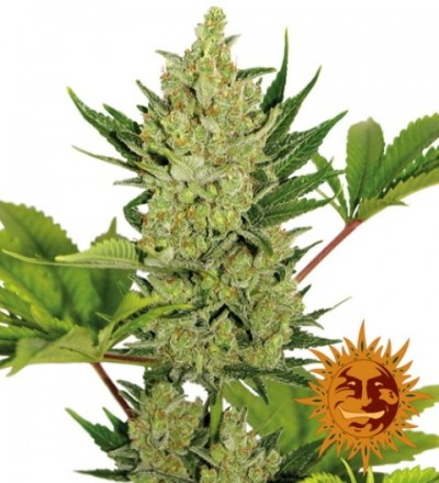 Auto Blue Cheese Feminized Marijuana Seeds