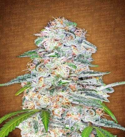 Blue Dream'matic by Fast Buds Seeds