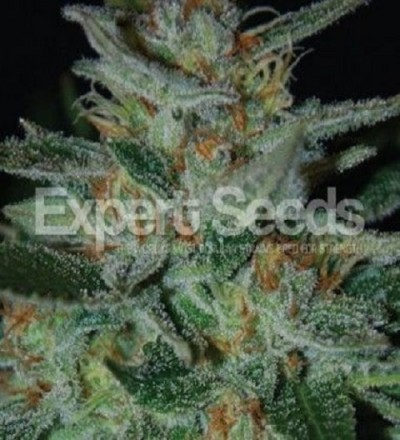 Blue Funk by Expert Seeds